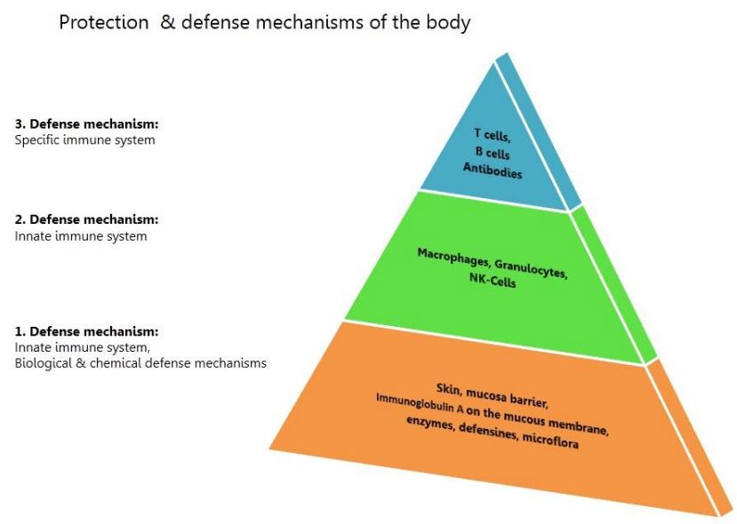pyramid of the protection and defense mechanisms of the body